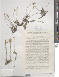 Stellaria cataractarum