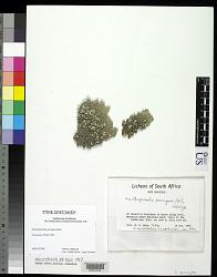Xanthoparmelia perrugosa Hale