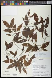 Grewia brideliifolia Baill.