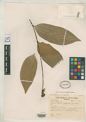 Ravenia polygalaecalyx Ducke