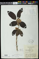 Campomanesia guazumifolia (Cambess.) O. Berg