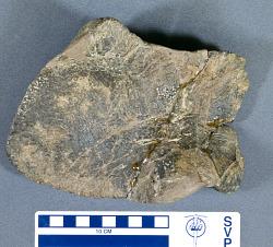 Kritosaurus sp