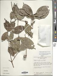 Alibertia latifolia (Benth.) K. Schum.