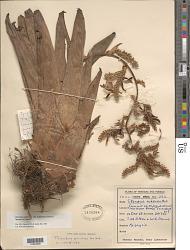 Racinaea spiculosa (Griseb.) M.A. Spencer & L.B. Sm.