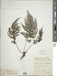 Callistopteris baueriana Copel.