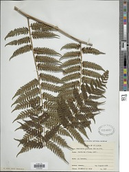 Cyathea muricata (Willd.) Fée