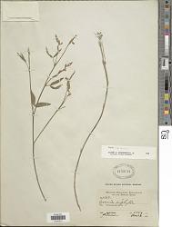 Zornia latifolia Sm.