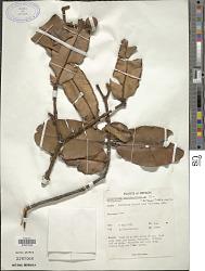 Calophyllum cordato-oblongum Thwaites