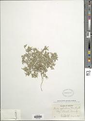 Pectis cylindrica (Fernald) Rydb.