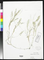 Eragrostis tenella (L.) P. Beauv. ex Roem. & Schult.