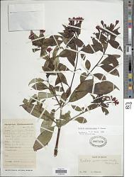 Fuchsia sanctae-rosae Kuntze