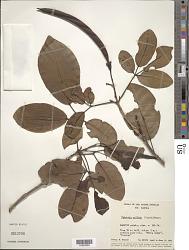 Tabebuia pallida (Lindl.) Miers
