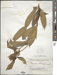 Allamanda cathartica L.