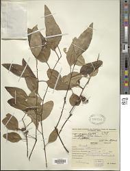 Eucalyptus alba Reinw.