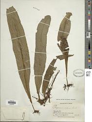 Campyloneurum repens (Aubl.) C. Presl