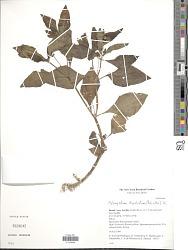 Melampodium divaricatum (Rich.) DC.
