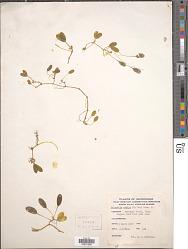 Halophila ovalis (Aiton) Hook. f.