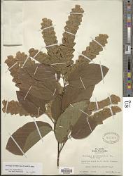 Flemingia strobilifera (L.) Aiton
