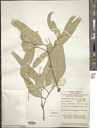 Eucalyptus argillacea W. Fitzg. ex Maiden