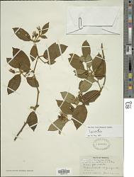 Lycianthes ferruginea Bitter