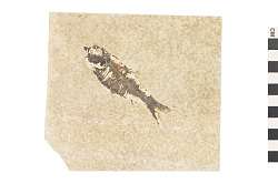 Fossil Ray-finned Fish