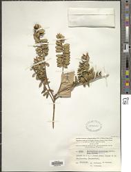Metrosideros operculata var. francii J.W. Dawson