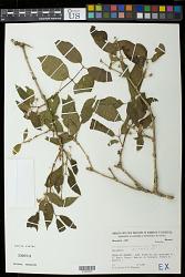 Campomanesia velutina (Cambess.) O. Berg