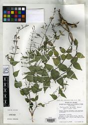 Carlowrightia mcvaughii T.F. Daniel