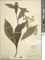Blumea bullata J. Kost.