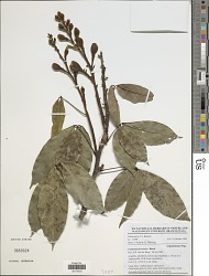 Camoensia brevicalyx Benth.