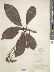 Macrocnemum jamaicense L.
