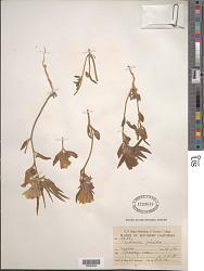 Mohavea confertiflora (A. DC.) A. Heller