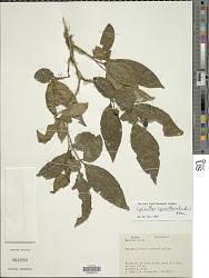 Lycianthes synanthera (Sendtn.) Bitter