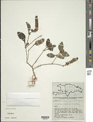 Teliostachya alopecuroidea (Vahl) Nees