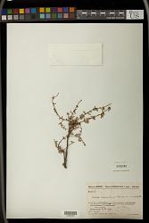 Croton sakamaliensis Leandri