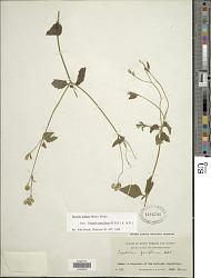 Praxelis diffusa (Rich.) Pruski