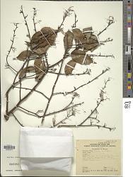 Shorea multiflora (Burck) Symington