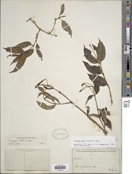 Fuchsia regia (Vell.) Munz subsp. regia