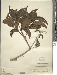 Crypteronia paniculata Blume