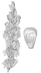 Zea mays subsp. mays x Z. mays subsp. mexicana (Schrad.) Iltis