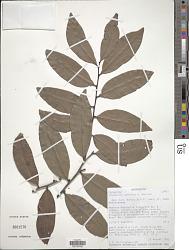 Diospyros conifera H. Perrier