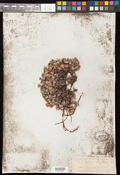 Eriogonum caespitosum Nutt.