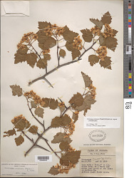 Crataegus pruinosa s.l. var. rugosa (Ashe) Kruschke s.l.