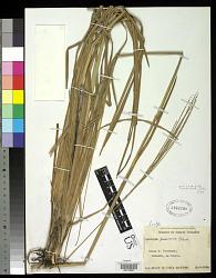 Axonopus passourae G.A. Black