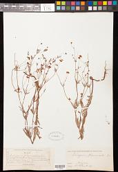 Eriogonum pharnaceoides Torr.