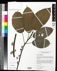 Ficus mollior F. Muell. ex Benth.