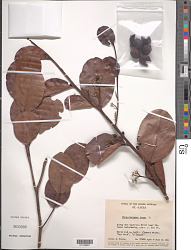 Chrysobalanus icaco L.