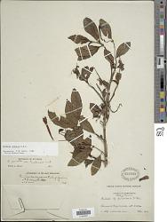 Fuchsia venusta Kunth