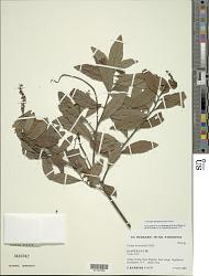 Varronia divaricata (Kunth) Borhidi