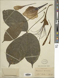 Camoensia maxima